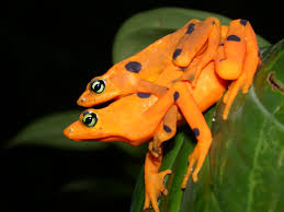 panama u0027s golden frogs caribbean travel guides