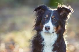 australian shepherd dog names the top 23 smartest dogs in the world dogtime
