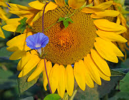 sunflower blooms form a sea of color