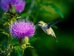 Hummingbird Flowers How To Create A Garden Haven For Hummingbirds The Seattle Times