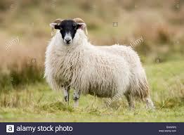 scottish black faced sheep ram lamb ovis aries islay scotland