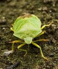 the garden pest cucumber bug and home made organic pest control