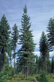 white pine trees western white pine