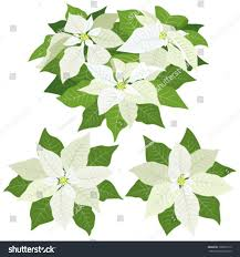 white poinsettia flowers decorations on stock vector