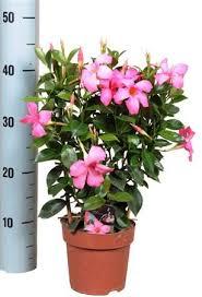 Tropical Climbing Plant - tropical houseplant evergreen mandevilla striking large