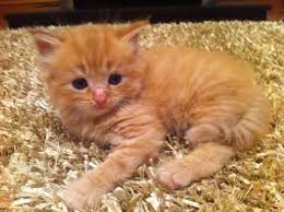 36 very beautiful orange turkish angora cat pictures and images
