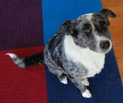 australian shepherd los angeles rescue australian shepherd rehoming