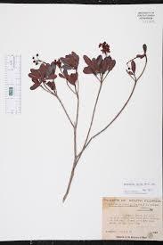 florida keys native plants byrsonima lucida species page isb atlas of florida plants