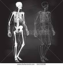 Human Male Anatomy Human Body Parts Skeletal Man Anatomy Stock Vector 541721038