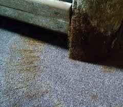 Kill Carpet Mold How To Tell If There Is Mold Under Your Carpet Carpet Vidalondon