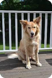 belgian sheepdog breeders new york hudson adopted dog bedford hills ny belgian tervuren golden