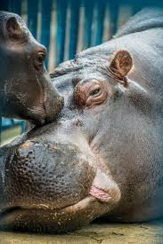 966 best hippos images on pinterest animals hippopotamus and