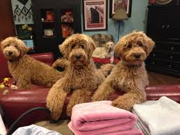 doodle doo labradoodles 40 best countdown to my own labradoodle pics of doodles