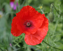 pictures of poppy flowers laura williams