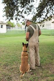 belgian shepherd how to train canines in combat military working dogs san antonio magazine