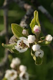 cleveland pear tree diseases hunker