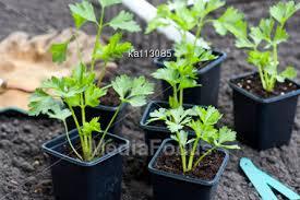 stock photo young celeriac plants pots ready planting image