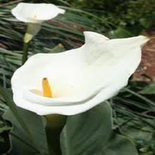 aethiopica calla lily bulbs for sale calbulbs com aethiopica