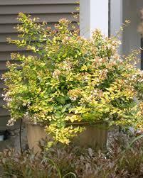Flowering Shrubs For Partial Sun - 33 best abelia images on pinterest garden plants plants and shrubs