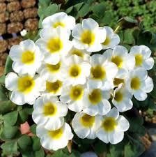 ship flowers oxalis bulbs world s flowers oxalis flower small bulb