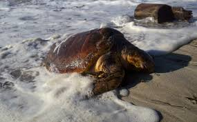 crowdsaving u201d the world u0027s most endangered sea turtles turtle journal