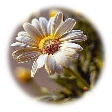 imagenes flores relajantes daisy love resimler pinterest flores relajante y alas