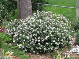 daphne retusa lustrous and lusty forum topic north american