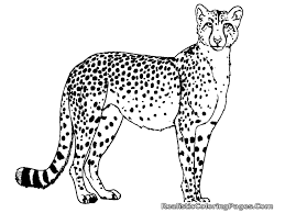 cheetah coloring pages 15624