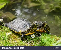 Lucca Italy Map by Turtles In The Botanical Garden In Lucca Italy Stock Photo