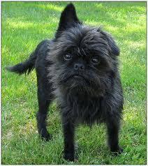 affenpinscher coat type specifically type of dogs affenhuahua affenpinscher chihuahua