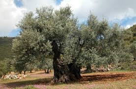the top 10 most amazing trees in israel israel21c