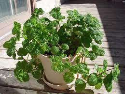 common houseplants golden pothos hardy houseplants house plants