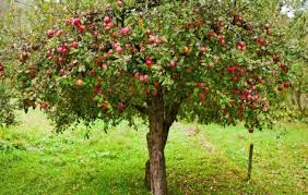 tree symbolism apple tree symbolism and lore sigils symbols and signs
