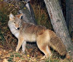 Can Coyotes See Red Light Coyote Mammal Britannica Com