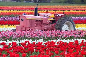 Tulip Field Tulip Fields Tulips Field Flower Flowers Tractor Wallpaper