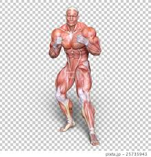 Full Body Muscle Anatomy Anatomy Human Body Full Body Stock Illustration 25735943 Pixta