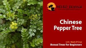 plants native to china 56 how to care for chinese pepper bonsai zanthoxylum beecheyanum