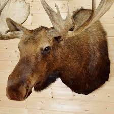 mounted moose head for sale sw4152 safariworks taxidermy sales
