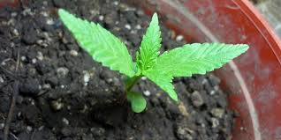 Recovering Cannabis Plants From High by Grow Strong Marijuana Plants Ready To Transplant In 9 Steps
