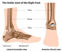 Anatomy Of The Calcaneus Anatomy Of The Foot Ankle
