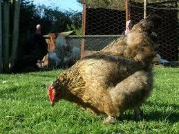 backyard chicken keeping ordinance flies over first hurdle wjct news