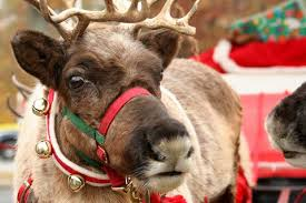 christmas reindeer 10 reindeer facts to tell your nan on christmas day sta travel