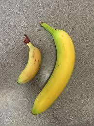 tiny banana tiny banana or giant banana banana for scale imgur