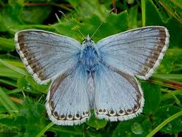 Blue And Green Butterfly - on line guide to the butterflies of britain and