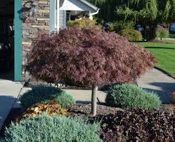 garden bloodgood japanese maple miniature maple tree maple