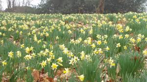 plants native to spain narcissus pseudonarcissus l plants of the world online kew