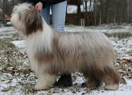 bearded collie x terrier untitled document