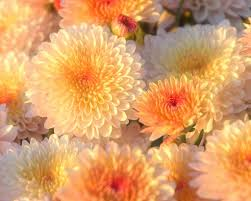 flowers white beautiful chrysanthemums flowers orange autumn