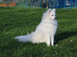 american eskimo dog varieties the miniature american eskimo dog demands less physical exercise