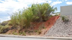 utah native plant society invasive arundo takes hold in virgin river system control efforts